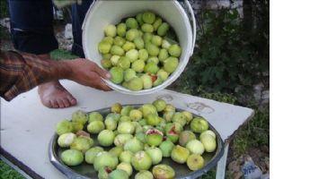 Gurs inciri yetiştiricilerin yüzünü güldürdü
