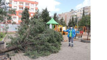 Fırtına parkın 25 yıllık çam ağacını devirdi