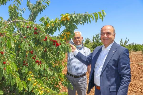 Mardin'de kiraz, üreticilerin yüzünü güldürdü
